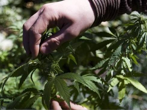 La culture de cannabis connaît une croissance fulgurante au... (Archives Reuters)