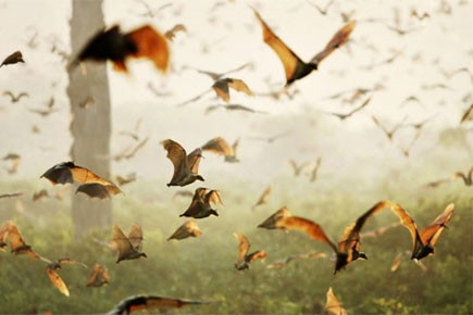 La mystérieuse maladie qui attaque les chauves-souris de l'est de... (Photo: AP)