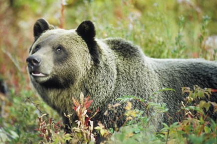 Le nombre de grizzlys morts à cause de... (Photo: Archives, AFP)