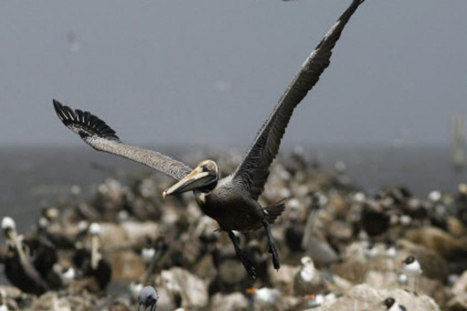 Le pélican brun, emblème de la Louisiane, pourait... (Photo: AP)