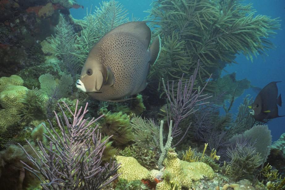 La barrière de corail de la Floride, troisième... (Photo: AP)
