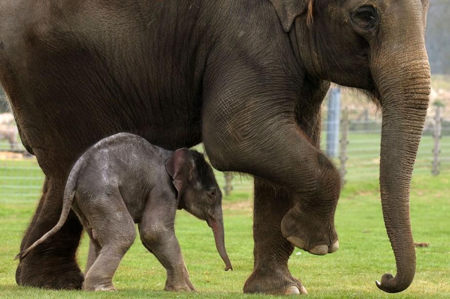 Un petit éléphant a besoin de sa mère... (Photo: AFP)