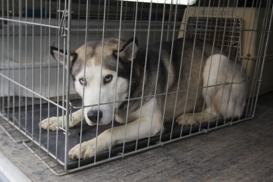 Un chien husky a tué un nouveau-né, lundi,... (Photo: André Pichette, La Presse)