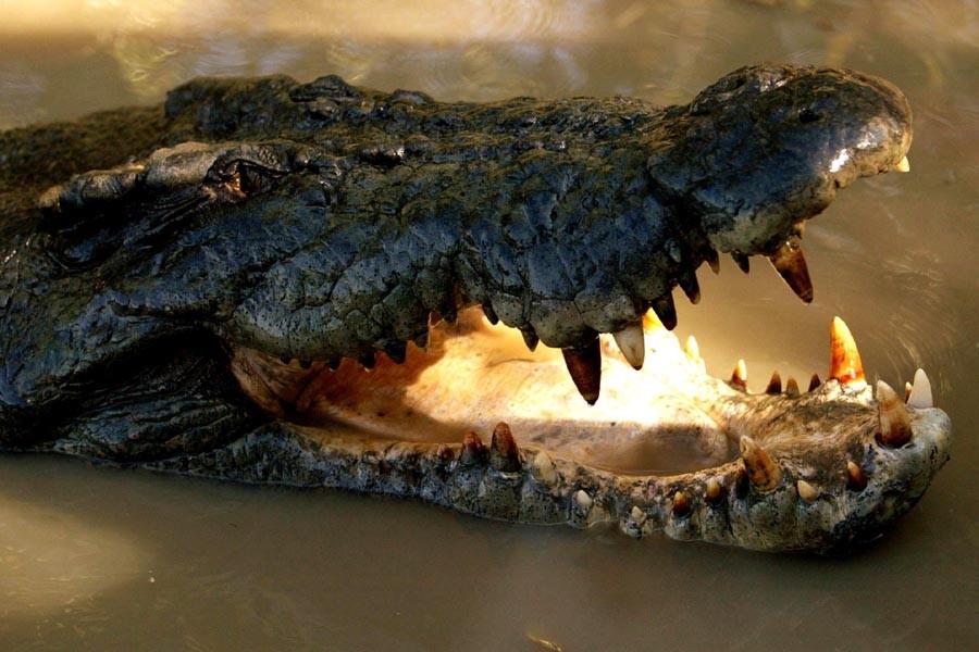 Le crocodile marin est la plus grosse espèce... (Photo: Archives AP)