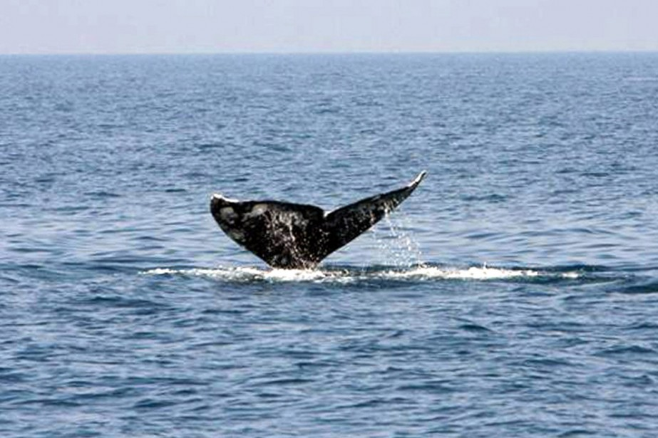La baleine grise (photo) est en danger d'extinction.... (Photo: archives AFP)