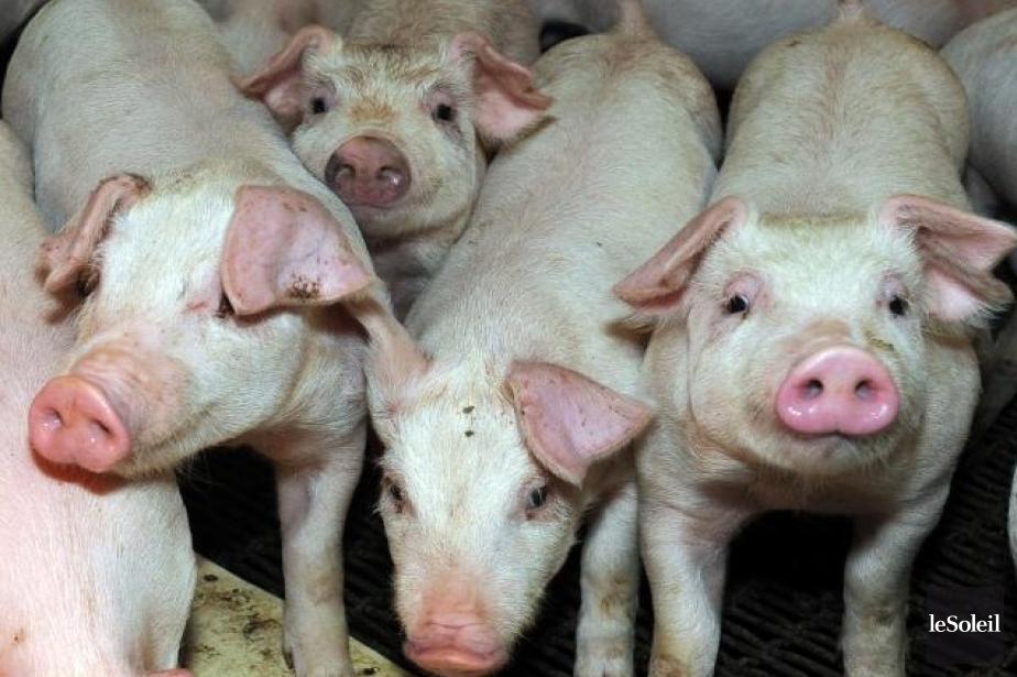 Plus de 300 porcs reproducteurs... (Photothèque Le Soleil Érick Labbé)