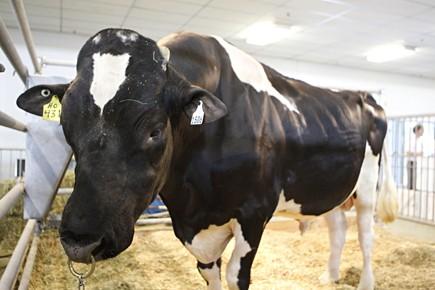 Le taureau Starbuck II est présenté jusqu'à dimanche... (Photo: François Roy, La Presse)