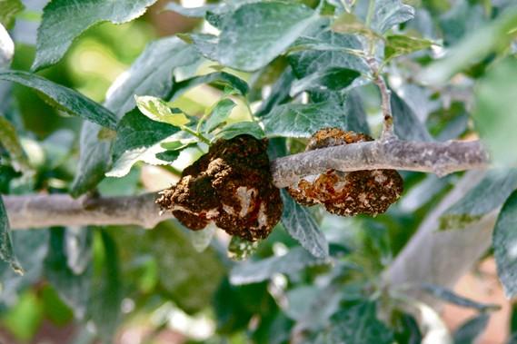 Contrôler le nodule noir requiert beaucoup de discipline.... (www.jardinierparesseux.com)
