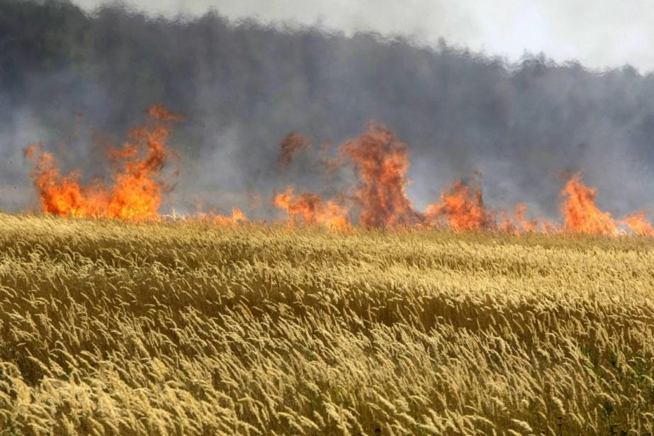 Un champs de céréales est la proie des... (Photo: AP)
