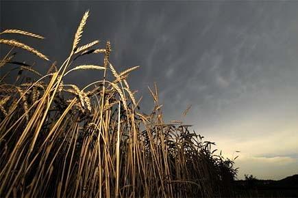 Un champ de blé en Russie, épargné par... (Photo: AFP)
