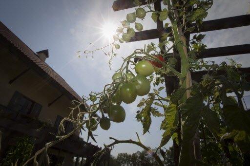 Tomates bientôt mûres, dans le potager surélevé de Dunham.   30 mars 2011