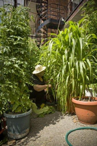 Le grand plant avec le panache de longues de feuilles, c'est le maïs oriental miniature.   30 mars 2011