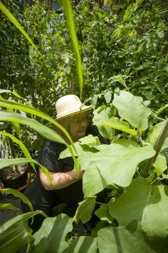Lorraine arrache une feuille jaunie du plant d'aubergine…   30 mars 2011