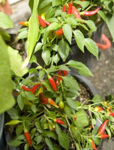Plant de piment Chili chez Lorraine.   30 mars 2011
