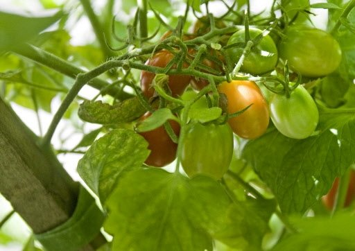 Tomates cerises ovales Sprite, chez Lorraine.   30 mars 2011
