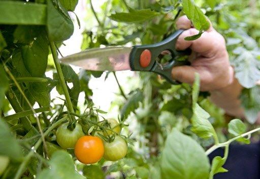 On coupe un peu de feuillage pour que la lumière du soleil fasse mûrir les tomates.   30 mars 2011