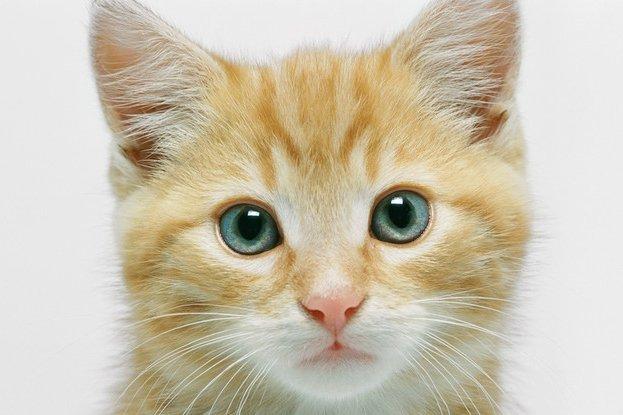 Une étude sur trois chats sourds de naissance et trois chats... (Photos.com)