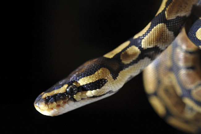 Un jeune python royal.... (Photo: AFP)
