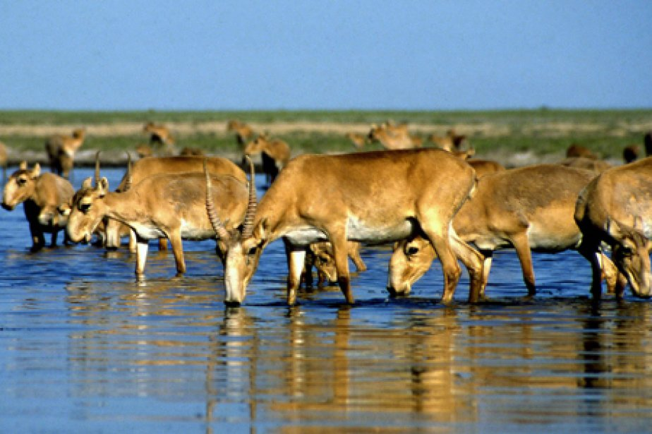 La population d'antilopes saïgas a chuté d'un million... (Photo: AFP)