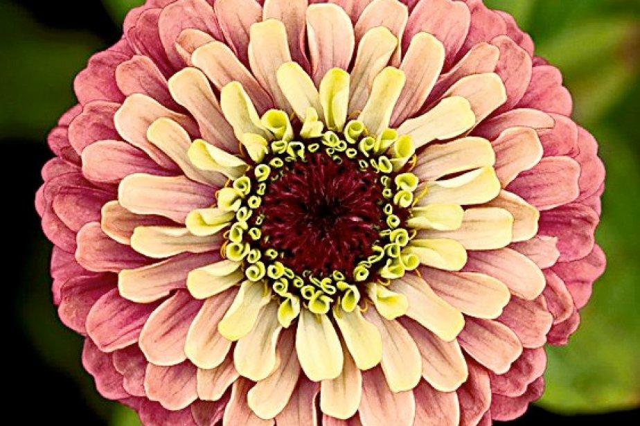 La fleur du zinnia est composée de centaines... (Photo: National Garden Bureau)
