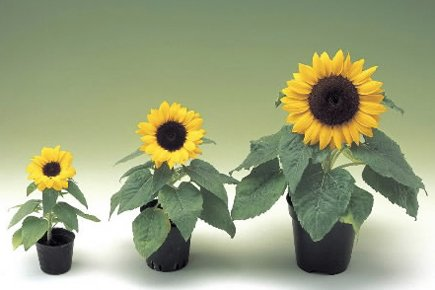 Helianthus «Sunny Smile».... (PHOTO NORSECO)