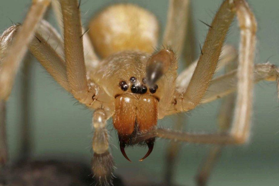 La Cheiracanthium inclusum est une petite araignée mesurant...
