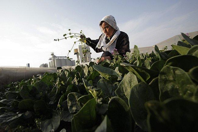 La distribution des épinards est déjà arrêtée depuis... (Photo: AP)