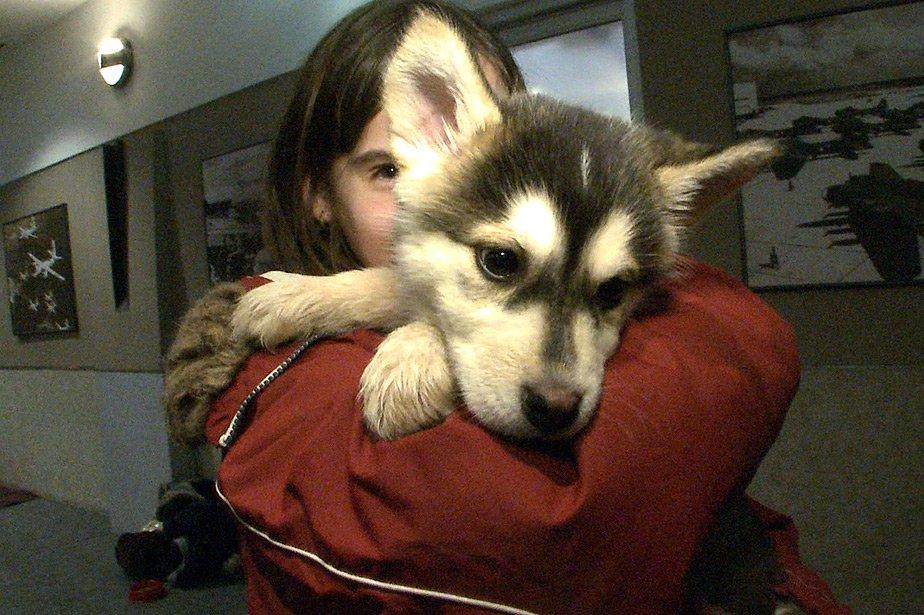 Une cinquantaine de chiens du Nord québécois ont... (Photo: David Boily, La Presse)