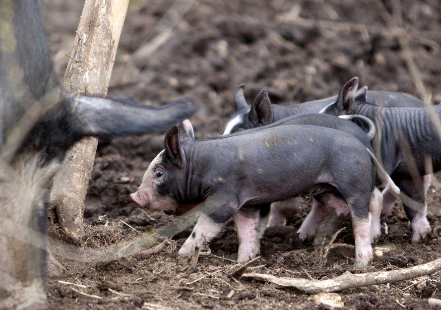 La ferme/restaurant de Blue Hill at Stone Barns à Tarrytown. Les porcs sont élevés en forêt. (Marco Campanozzi, La Presse)
