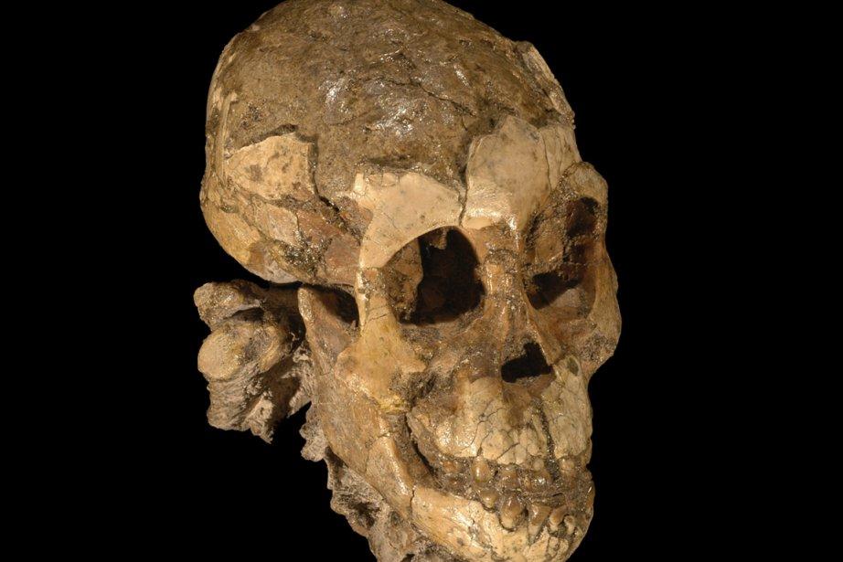 Le squelette d'un enfant Australopithecusafarensis retrouvé en Éthiopie.... (Photo: Archives AP)