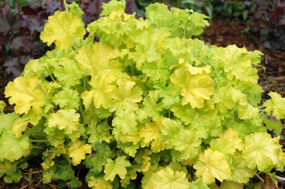«Lime Rickey» produit des feuilles vert fluorescent.... (Photo fournie par Terra Nova Nurseries)