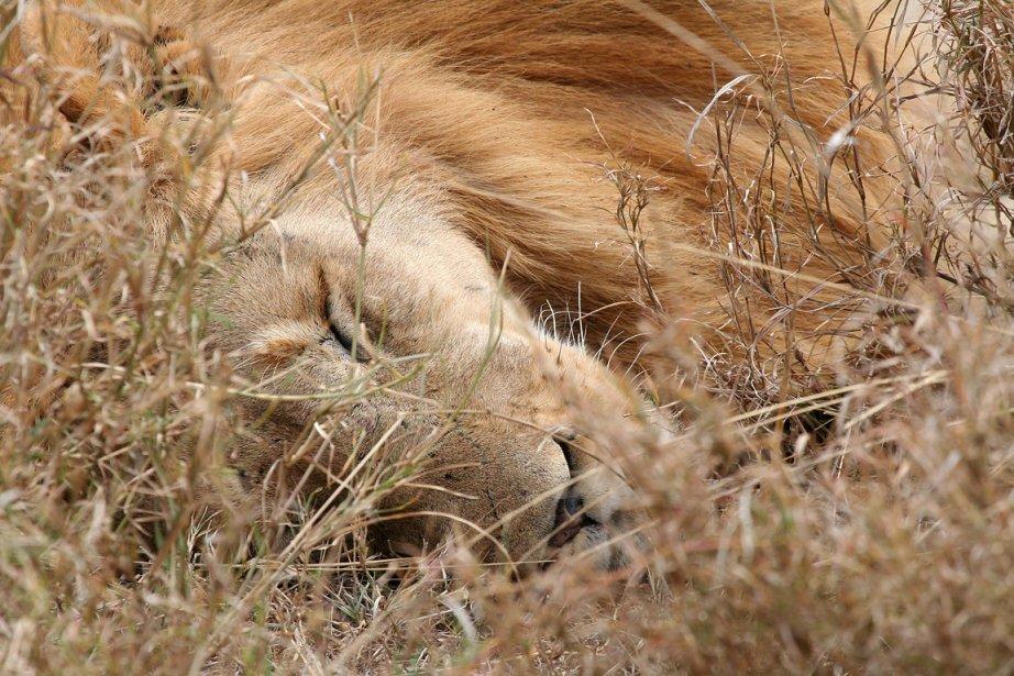 Un lion endormi dans le parc national du... (Photo: archives Bloomberg News)