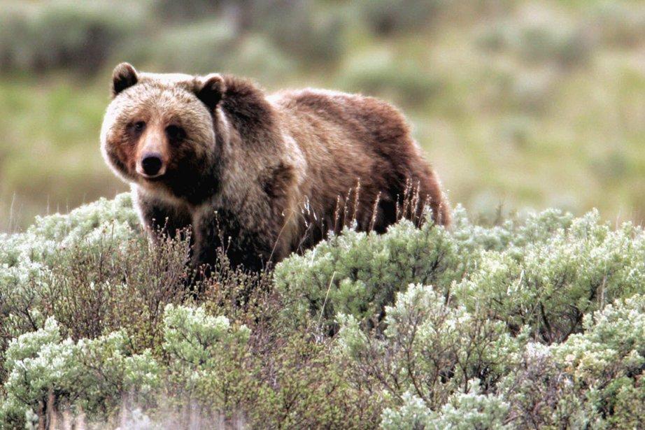Un grizzly photographié au Parc national de Yellowstone,... (Photo d'archives AP)