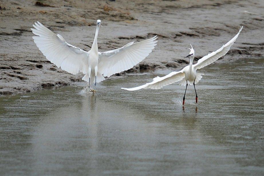 Des oiseaux sur le delta du Danube près... (Photo: AFP)