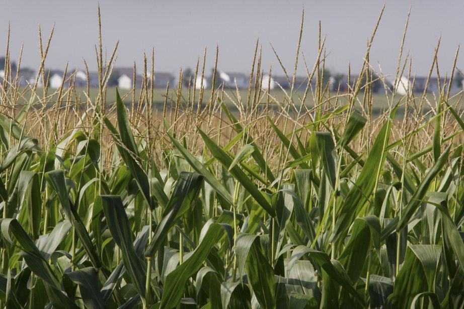 Le boisseau de maïs (environ 25 kg) pour... (Scott Olson, archives Agence France-Presse)