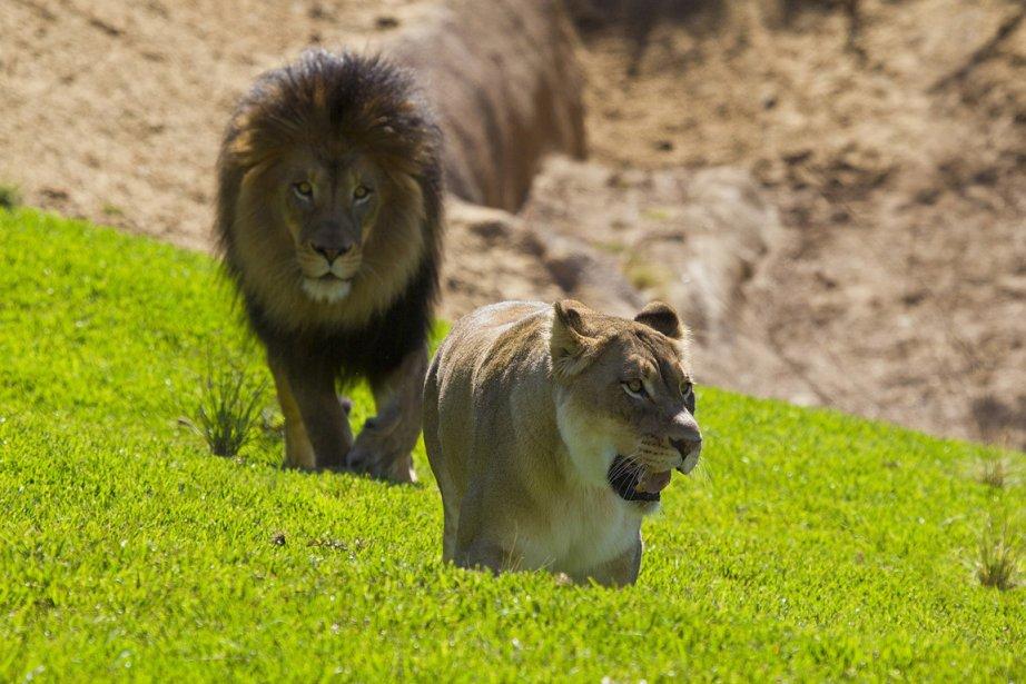 Les grands prédateurs comme les lions connaissent un... (Photo: Archives Reuters)