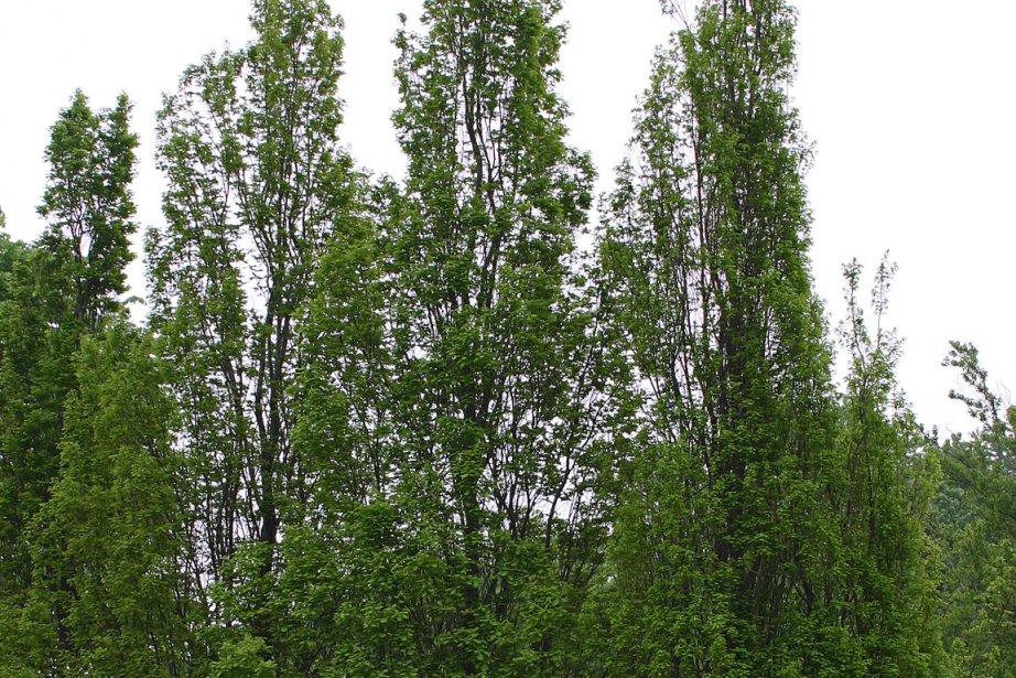 arbres filiformes pour petits terrains larry hodgson collaboration sp ciale horticulture. Black Bedroom Furniture Sets. Home Design Ideas