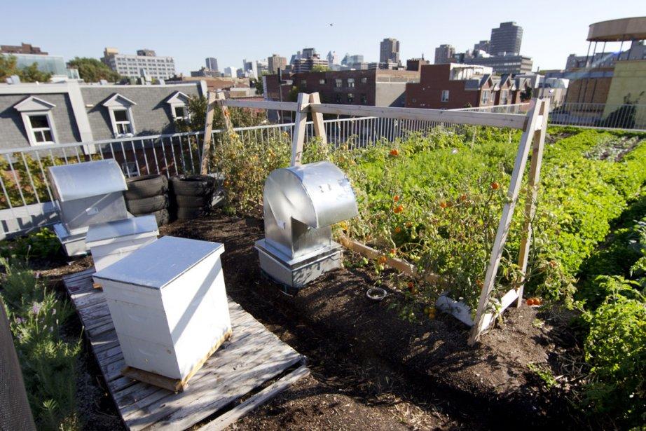 L'agriculture urbaine sur le toit vert du Santropol... (Photo: Robert Skinner, La Presse)