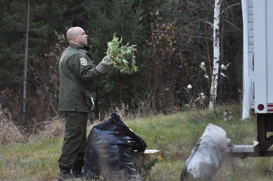 Environ 200 plants ont été saisis sur chacun des deux premiers terrains fouillés par les policiers. Pendant qu'on s'affairait à faire pousser du cannabis sous la terre, les demeures servaient quant à elles de lieu de prédilection pour y faire sécher la marchandise. | 3 novembre 2011