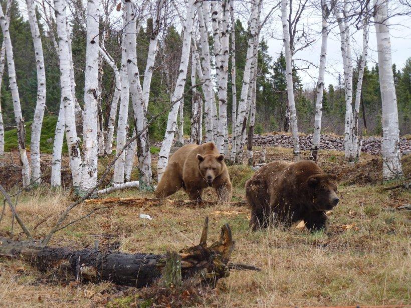 Les grizzlis Cody et Mary, qui ont quitté l'ancien Jardin zoologique du Québec le 2 novembre, explorent leur nouvel habitat, spécialement conçu et aménagé pour eux, au Zoo sauvage de Saint-Félicien. | 4 novembre 2011