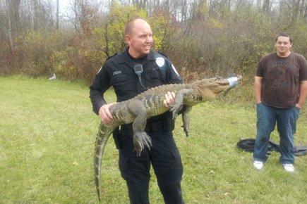 Les policiers ont muselé l'alligator à l'aide d'un... (Photo: AP)