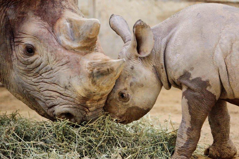 Le rhinocéros noir d'Afrique de l'Ouest était un... (Photo: Archives Associated Press)