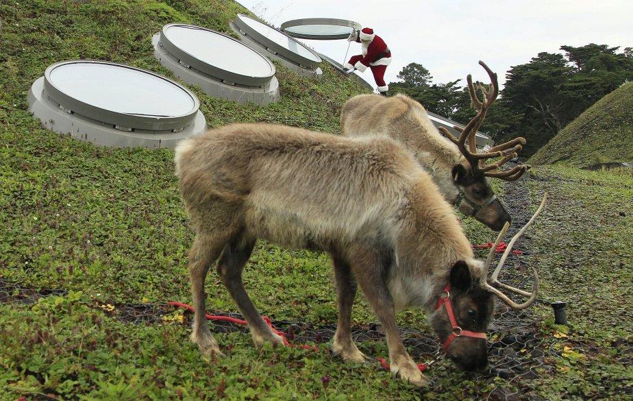 Deux rennes broutent sur le toit végétal du California Academy of Sciences, à San Francisco. Derrière, leur patron, le père Noël, qui est en fait l'entomologiste Dave Kavanaugh, le responsable du Living Roof Project, qui s'étend sur 2,5 acres et permet d'étudier l'habitat de plusieurs plantes, insectes et animaux. | 22 novembre 2011