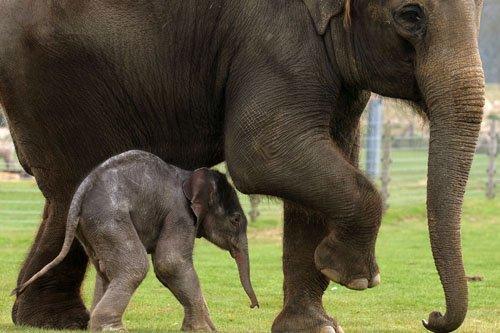 L'excroissance observée sur les pattes des éléphants agit... (Photo: Adrian Dennis, Archives AFP)