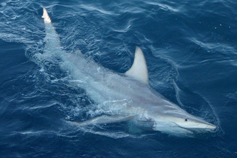 Des descendants hybrides du requin à pointe noire... (Photo: AFP/NSWDPI)