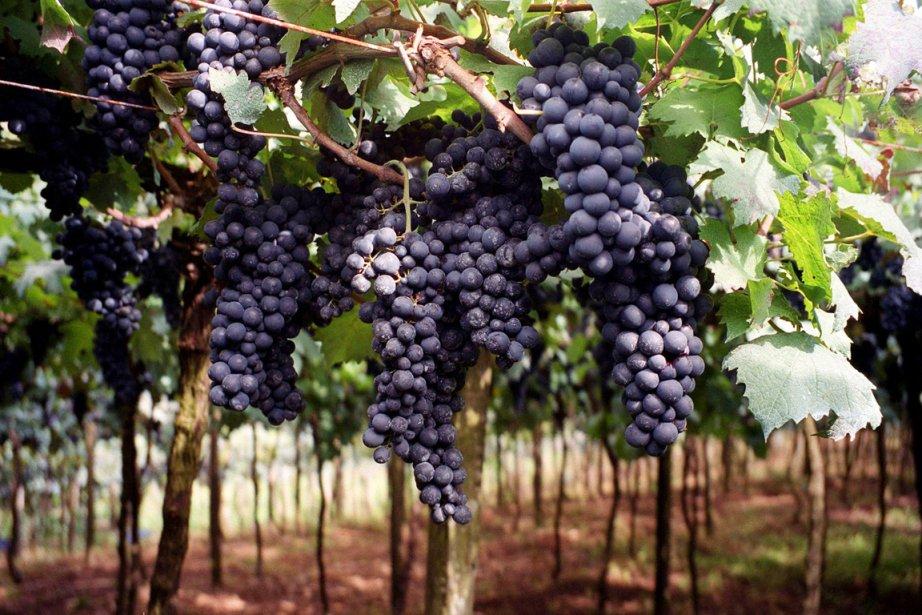 Jacques Ribourel vous propose de devenir vigneron pour... (Photo: archives AP)