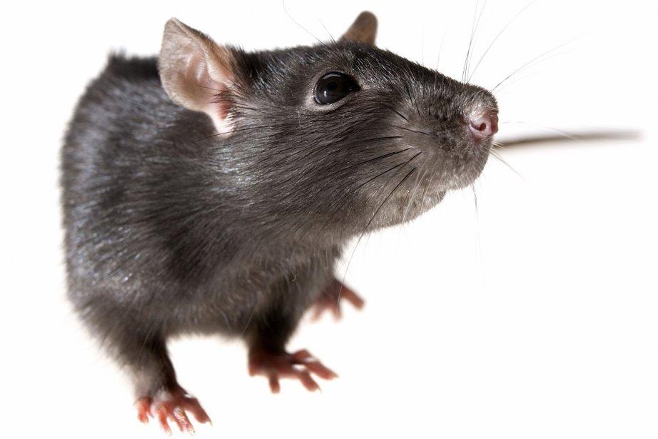 Les rats qui parcourent le métro de New York, sans se... (Photothèque La Presse)