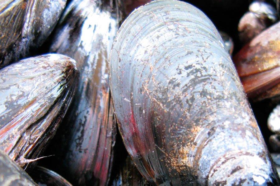 Les moules marinières, miam! Mais pour obtenir une belle moule... (Photo PC)