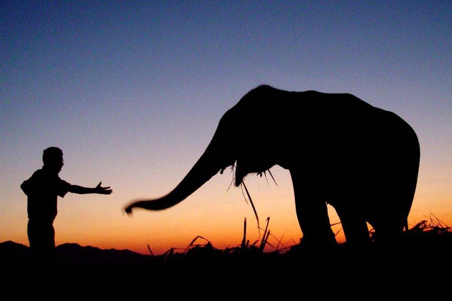 Un garde-forestier interragit avec un éléphant dans le... (Photo: AP)