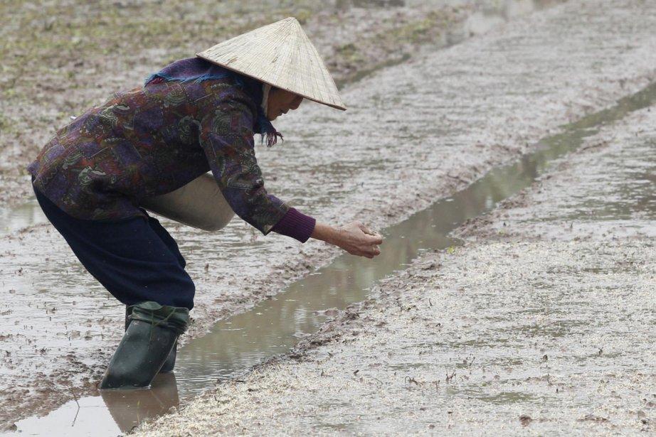 Une plantation de riz au Japon.... (Photo AFP)